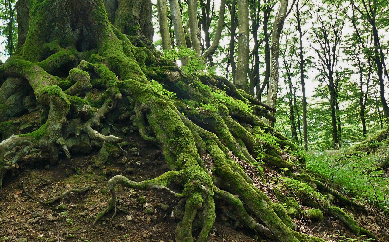 forest roots photo